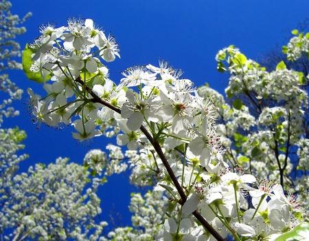 Bradford Blooms