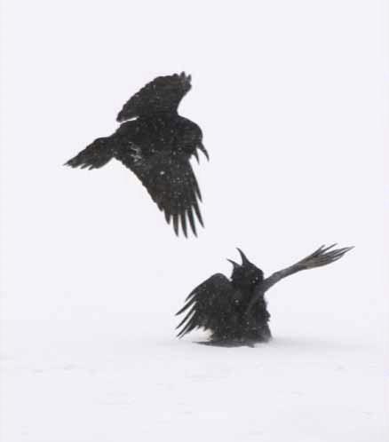 Slap-Happy Ravens - ID: 3552949 © DEBORAH thompson