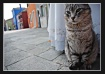 Burano Cat