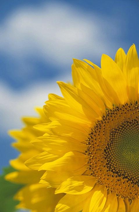 Sunflowers - ID: 3556113 © Susan Milestone