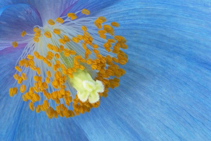 Blue Poppy 4527 - ID: 3556482 © Susan Milestone
