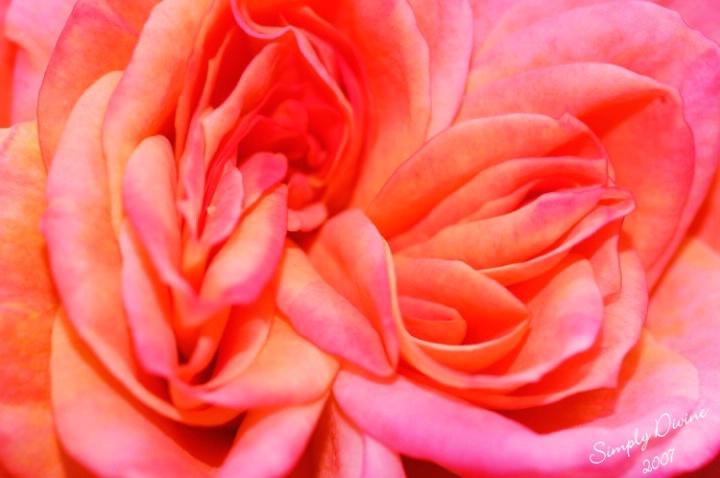 I Love Roses... - ID: 3562680 © Susan M. Reynolds