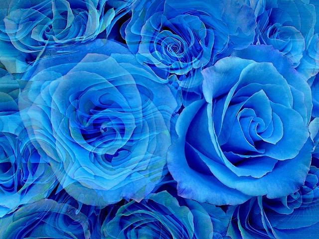 Dreaming blue roses