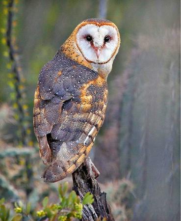 Sonoran Barn Owl