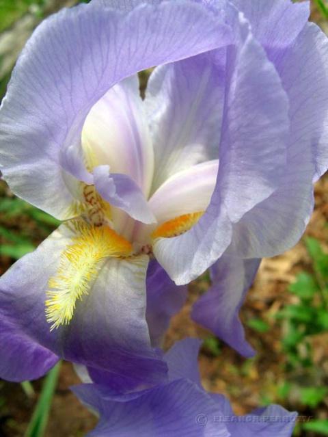 My Beautiful Iris