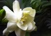 Gardenia at Belle...