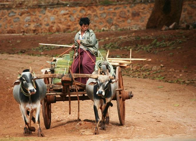 A Boy and His Oxen