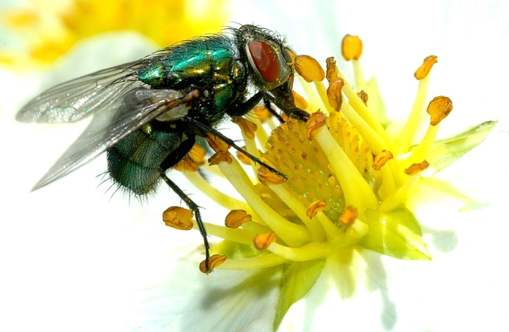 Fly On Fruitless Strawberry Flower