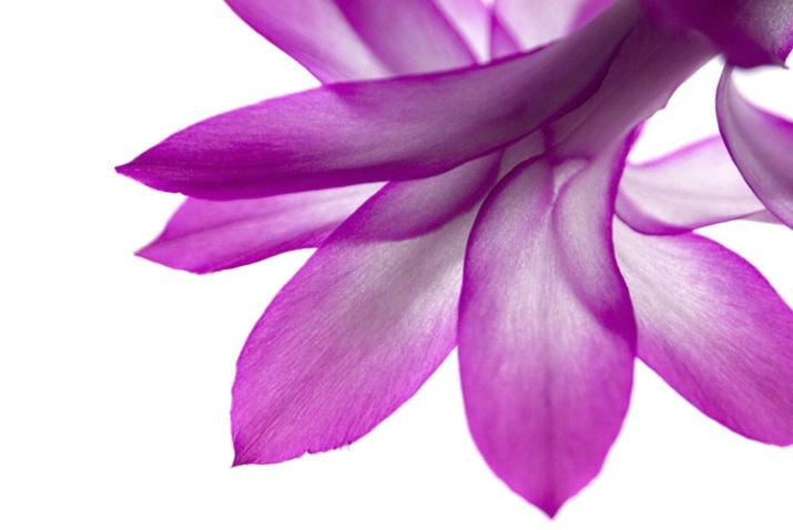 Close-up - Christmas Cactus Blossom - ID: 3585792 © Larry J. Citra