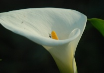 Insect inspection of Cala Lily