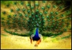 Male Peacock in a...
