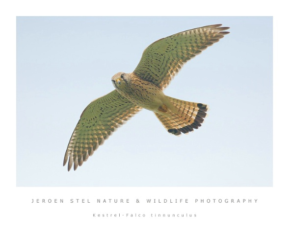 Kestrel-Falco tinnunculus