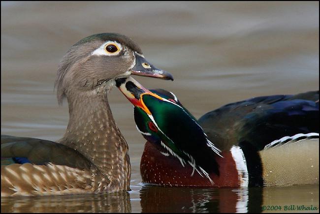 Wood Duck Love