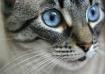 Siamese Eyes
