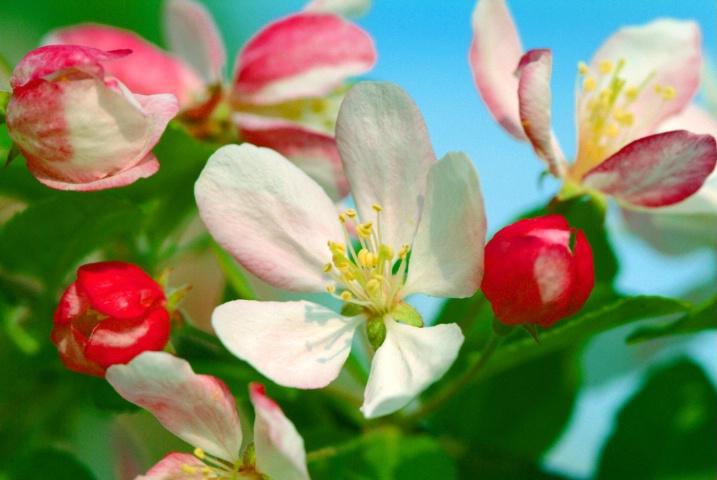 Apple Blossom Medley