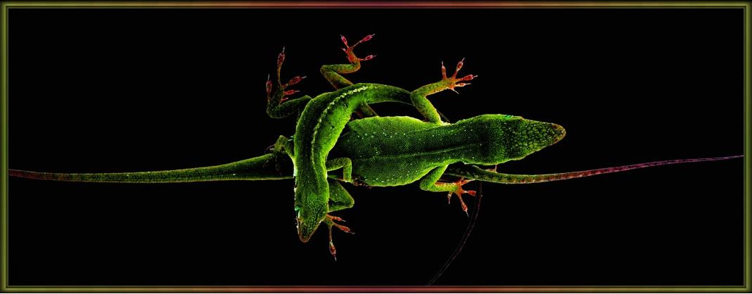 Lizard Knot