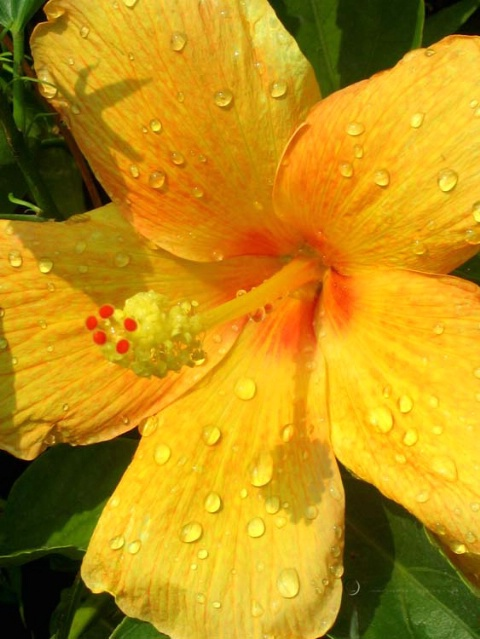 April Shower on Hibiscus Flower