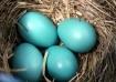 Robin's Egg B...