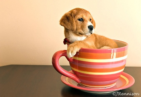 Pup in a Teacup