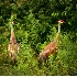 © Susan Leverty PhotoID # 3639722: 2 Sandhill Cranes
