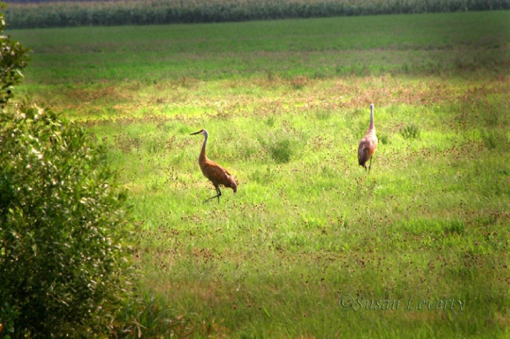 A Pair of Sandhill Cranes in hay field - ID: 3639723 © Susan Leverty