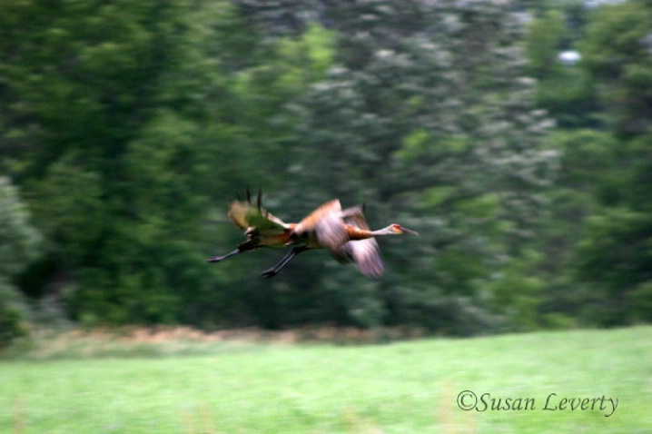 Sandhill Cranes Taking off 2 - ID: 3639724 © Susan Leverty