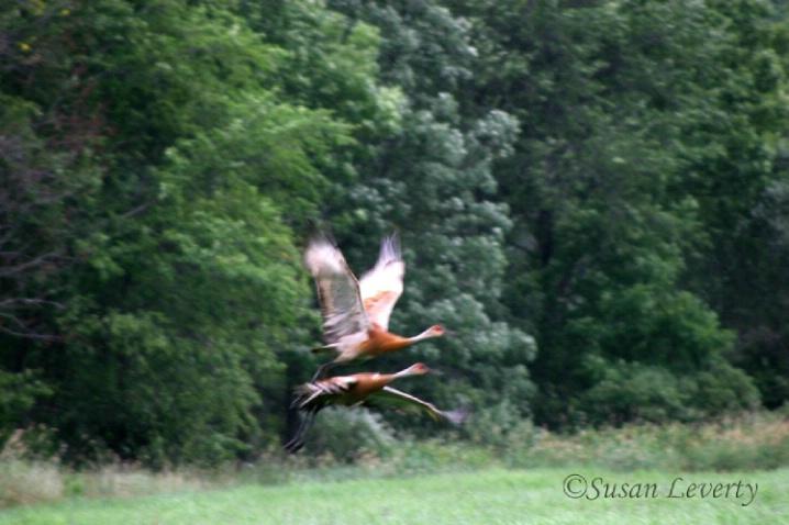 Sandhill Cranes Taking off - ID: 3639725 © Susan Leverty