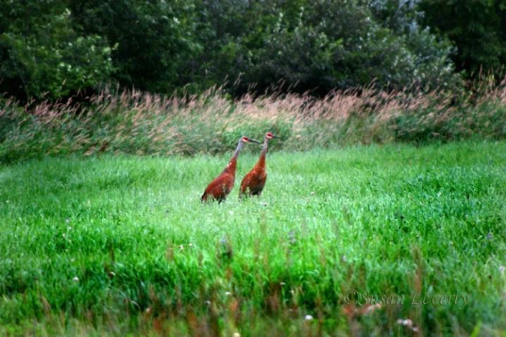 Sandhill Cranes - ID: 3639726 © Susan Leverty