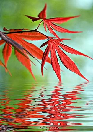 Japanese Maple reflections