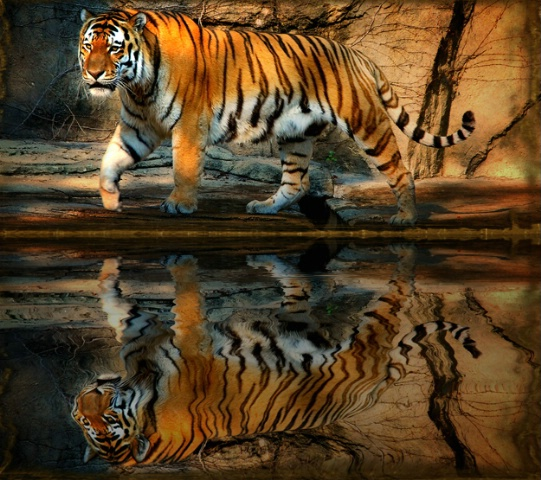 Tiger Reflecting Pool