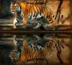 Tiger Reflecting ...