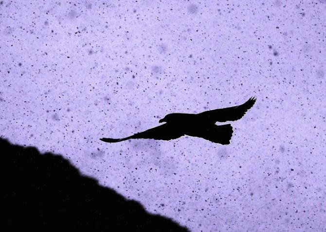 Skua In Snow Flurry - ID: 3645231 © Daniel Schual-Berke