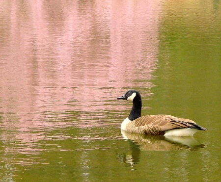 Canada Goose with Pink Cherry Blossoms