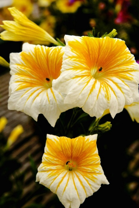 Yellow and White - ID: 3646902 © Thomas W. Keifer