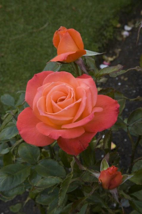 Christchurch Gardens...rose - ID: 3668724 © Bob l. Peterson