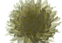 Backlit Chrysanthemum