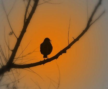 Sunset Songster.