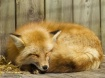 Sleeping Red Fox ...