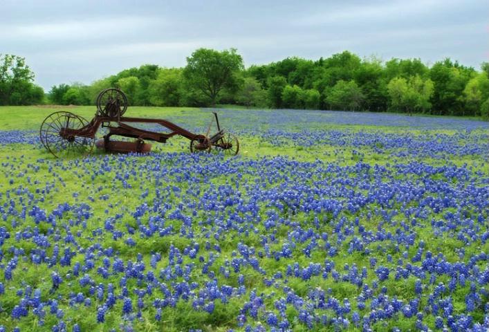 Texas Bluebonnets   - ID: 3690217 © Sherry Karr Adkins