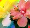Colorful Hibiscus