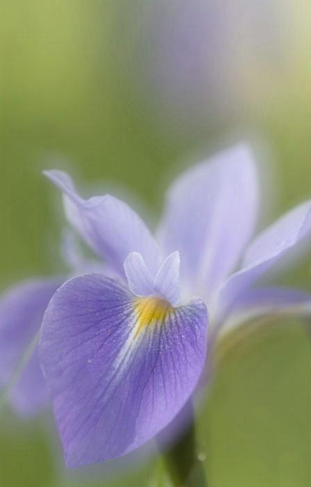 Iris Whispers