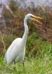 Great Egret at De...