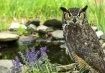 Owl at the Pond