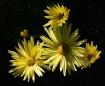 Yaller Flowers