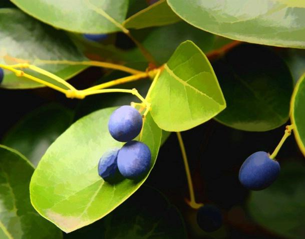 Berry Blue