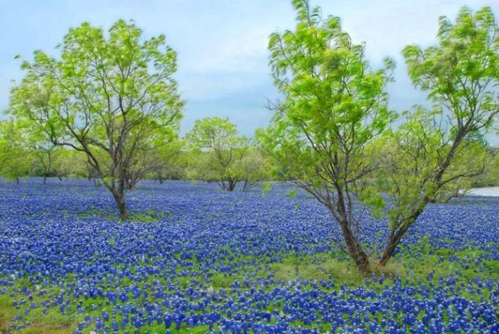 Bluebonnets and Trees           - ID: 3703237 © Sherry Karr Adkins