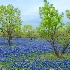 2Bluebonnets and Trees           - ID: 3703237 © Sherry Karr Adkins