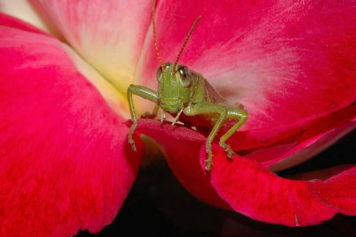Grasshopper  On A Rose