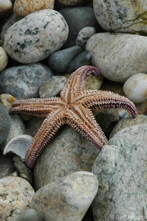 Starfish    MV 209 - ID: 3712710 © Beth E. Higgins