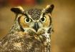 An Owl's Star...